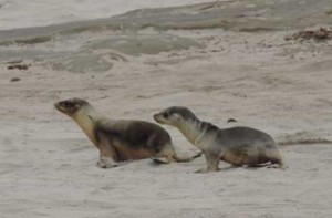 Two California sea lion pups, one fairly healthy, and one emaciated. Recent studies show a warm patch of water off the West Coast is affecting marine life there.  Credit: NOAA