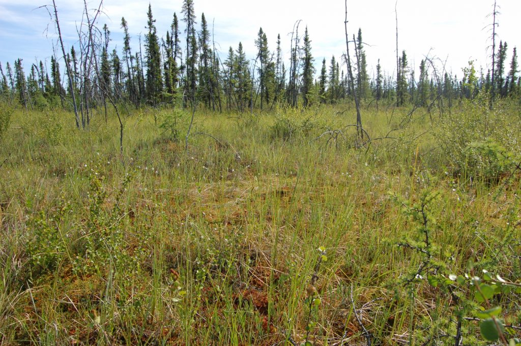 Grassy plants called sedges grow across the surface of the bog that Neumann and her team studied.