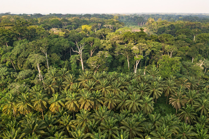 An image of the Congo rainforest, with a dense palm tree plantation in the foreground and a small clearing in the middle of the forest.
